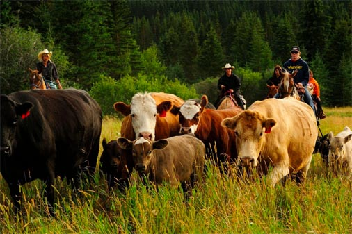 Moving cattle at Historic Reesor Ranch