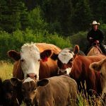 Trailing cattle at Historic Reesor Ranch